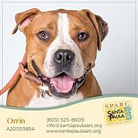 Boxer Mix Dog for adoption in Santa Paula, California - Orrin