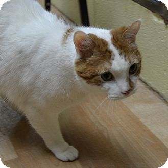 Domestic Shorthair Cat for adoption in Wheaton, Illinois - Marley
