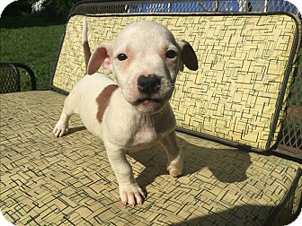 American Pit Bull Terrier/American Staffordshire Terrier Mix Puppy for adoption in Hatfield, Pennsylvania - Tyrion