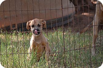 Boxer/Terrier (Unknown Type, Medium) Mix Puppy for adoption in Springfield, Virginia - Rachel