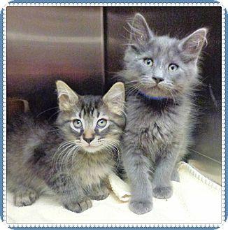 Domestic Shorthair Kitten for adoption in Marietta, Georgia - CHIP&DALE (R)