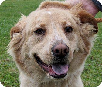 Golden Retriever Mix Dog for adoption in Grinnell, Iowa - Buddy