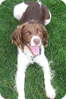 Brittany Mix Dog for adoption in Palatine/Kildeer/Buffalo Grove, Illinois - Linden