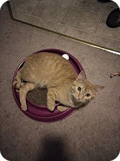 Domestic Shorthair Cat for adoption in Tacoma, Washington - Lady