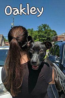 Pit Bull Terrier/Labrador Retriever Mix Dog for adoption in Mobile, Alabama - Oakley