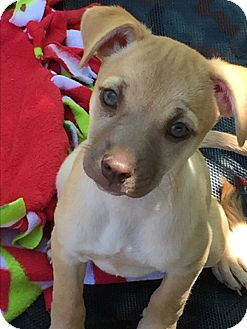 Terrier (Unknown Type, Small) Mix Puppy for adoption in Camas, Washington - Dixie
