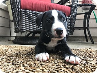 Bull Terrier/American Staffordshire Terrier Mix Puppy for adoption in Tomball, Texas - Travis