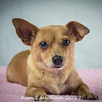 Chihuahua Mix Dog for adoption in Bradenton, Florida - Bit Bit