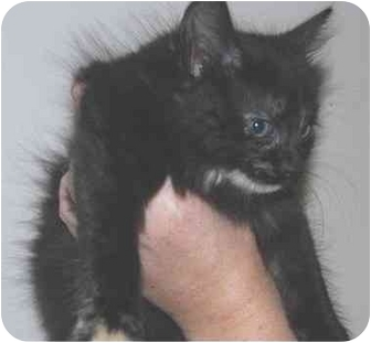 Domestic Longhair Kitten for adoption in Lisbon, Connecticut - Righty