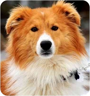 Collie Dog for adoption in Pawling, New York - MARLIN