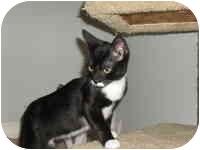 Domestic Shorthair Kitten for adoption in Tampa, Florida - Mori
