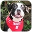 Photo 1 - Boxer/Pit Bull Terrier Mix Dog for adoption in San Diego, California - Phoebe