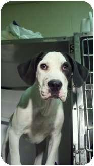 Labrador Retriever/Great Dane Mix Dog for adoption in Niceville, Florida - MOLLIE