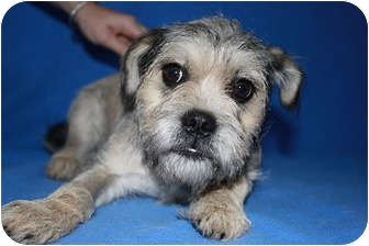 Schnauzer (Miniature)/Pug Mix Puppy for adoption in Broomfield, Colorado - Bubbles