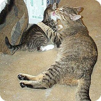 Domestic Shorthair Kitten for adoption in Beacon, New York - charlottecats2