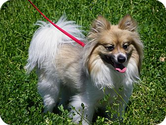 Pomeranian/Spitz (Unknown Type, Small) Mix Dog for adoption in Hesperus, Colorado - LARKIN
