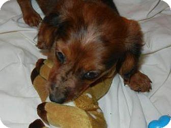 Dachshund Puppy for adoption in Antioch, Illinois - Dakota
