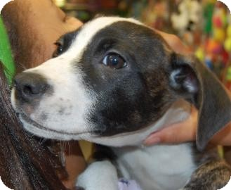 American Pit Bull Terrier Mix Puppy for adoption in Brooklyn, New York - Tumple