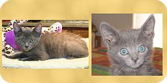Domestic Shorthair Kitten for adoption in Scottsdale, Arizona - Peabody