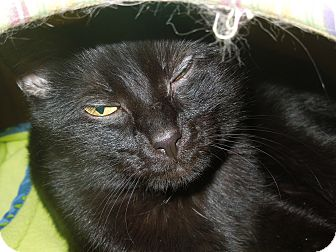 Domestic Shorthair Cat for adoption in Medina, Ohio - Lily
