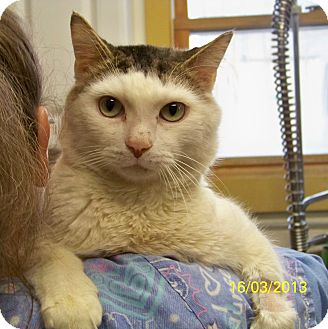 Domestic Shorthair Cat for adoption in Dover, Ohio - Leo