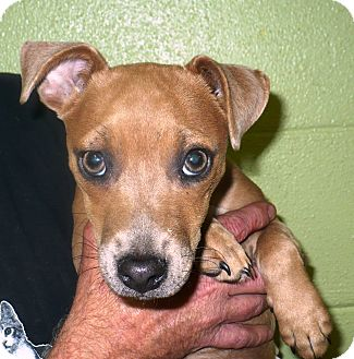 Dachshund/Chihuahua Mix Dog for adoption in Eastpoint, Florida - Tiny