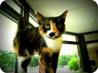Calico Cat for adoption in Gadsden, Alabama - Truffles