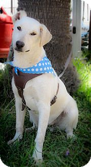 Labrador Retriever Mix Dog for adoption in Corona, California - VINNY