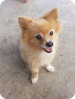 Pomeranian Dog for adoption in conroe, Texas - Fasa