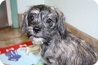Shih Tzu/Dachshund Mix Puppy for adoption in Bellflower, California - Gouda - I do not shed!