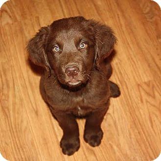 Labrador Retriever Mix Puppy for adoption in North Haverhill, New Hampshire - Patton adoption pending