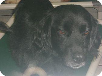 Cocker Spaniel Mix Dog for adoption in Coudersport, Pennsylvania - PEPPER
