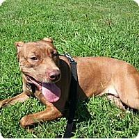 Adopt A Pet :: Rain - New Orleans, LA