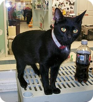 Domestic Shorthair Cat for adoption in Martinsville, Indiana - Valerie