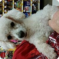 Adopt A Pet :: Chance - non shed - Phoenix, AZ