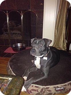 Labrador Retriever/Great Dane Mix Dog for adoption in Fishkill, New York - SOLOMON