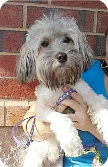 Havanese Dog for adoption in Mount Pleasant, South Carolina - Spencer