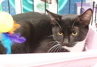 Domestic Shorthair Cat for adoption in New York, New York - Elsie