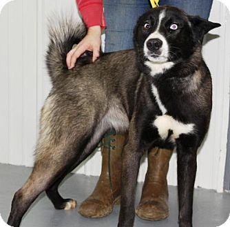 Husky Mix Dog for adoption in Greenville, Kentucky - Katou