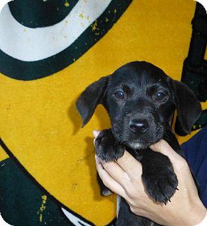 Labrador Retriever/Golden Retriever Mix Puppy for adoption in Oviedo, Florida - Angel