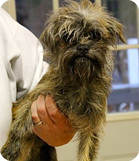 Brussels Griffon Mix Dog for adoption in Mohegan Lake, New York - Lenny