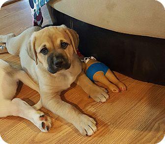 Great Pyrenees/Labrador Retriever Mix Puppy for adoption in Marietta, Georgia - Nukka