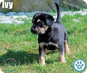 Shepherd (Unknown Type)/Labrador Retriever Mix Puppy for adoption in Kimberton, Pennsylvania - Ivy