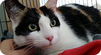 Domestic Shorthair Cat for adoption in Whitby, Ontario - Pumpkin