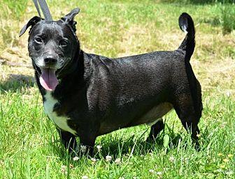 Terrier (Unknown Type, Medium)/Dachshund Mix Dog for adoption in DuQuoin, Illinois - Zeek