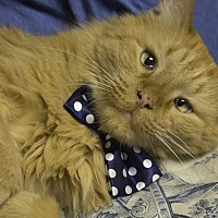 Domestic Mediumhair Cat for adoption in St. Louis, Missouri - Tauntaun