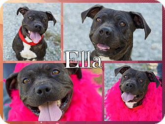 American Pit Bull Terrier/Boxer Mix Dog for adoption in Foster, Rhode Island - Ella ($200 Adoption Fee)