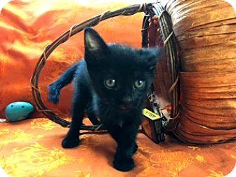 Domestic Shorthair Kitten for adoption in Los Angeles, California - Barney the Explorer