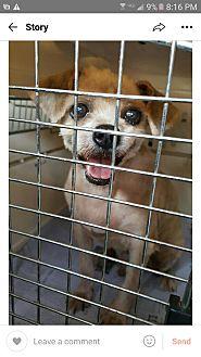 Shih Tzu Mix Dog for adoption in Oakton, Virginia - Pure