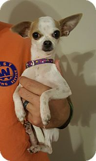 Chihuahua Mix Puppy for adoption in Mount Pleasant, South Carolina - Little One